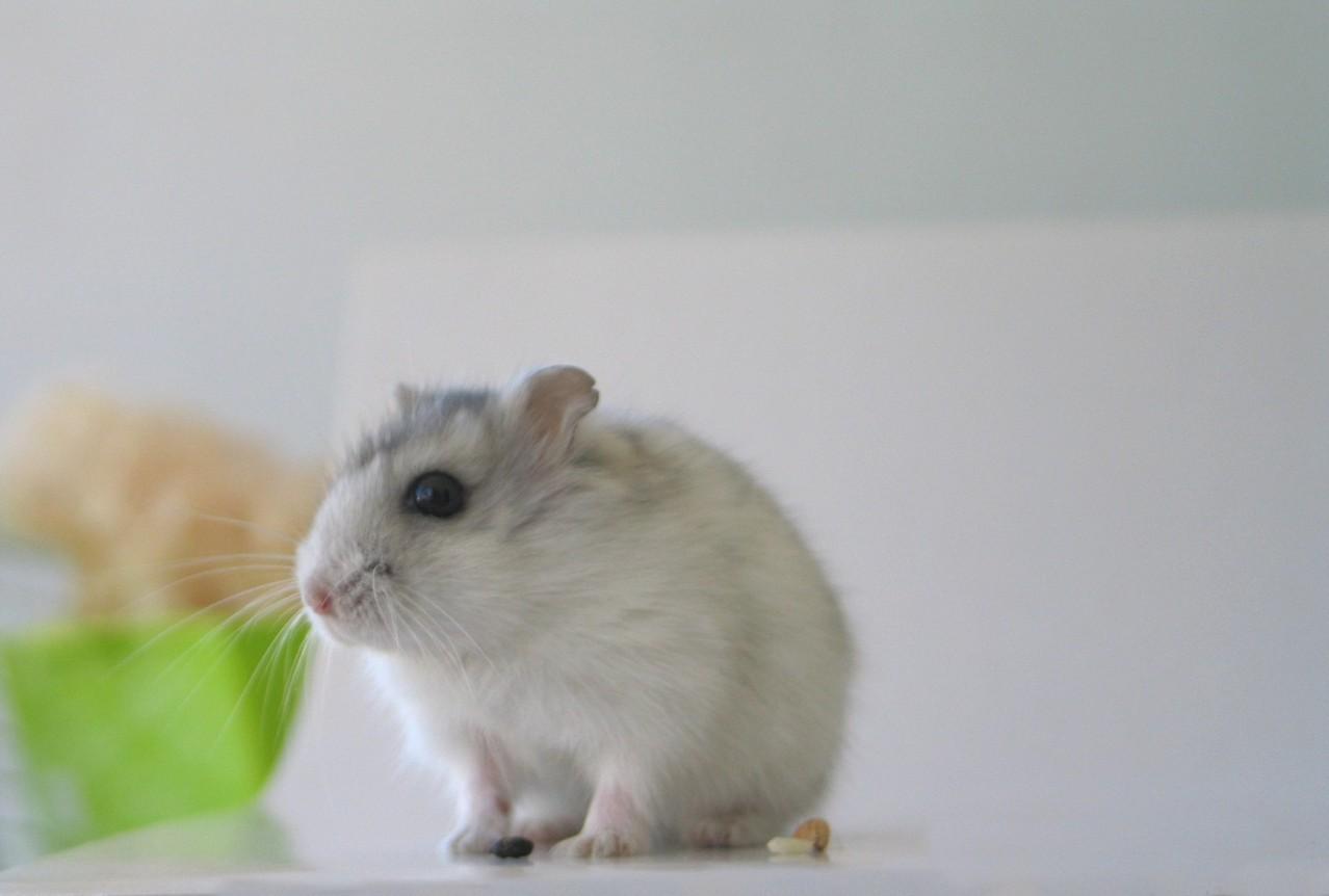 Chomiki i myszki – najpopularniejsze domowe zwierzęta