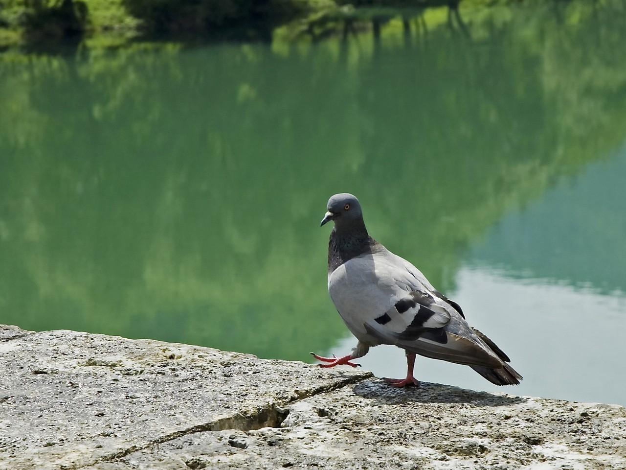 Rola gołębi w komunikacji